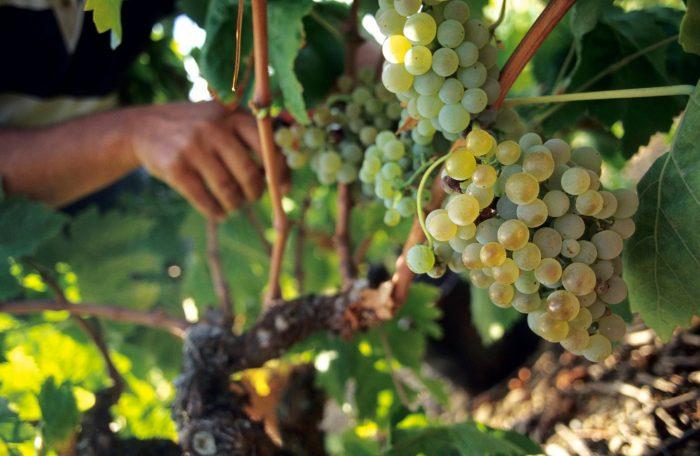 Vendanges du raisin blanc dans les vignes ©Céline Deschamps-ADT de l'Aude