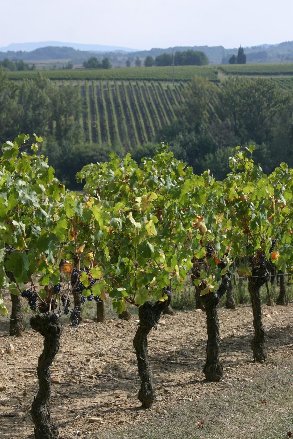 Malepère, alaigne, vigne