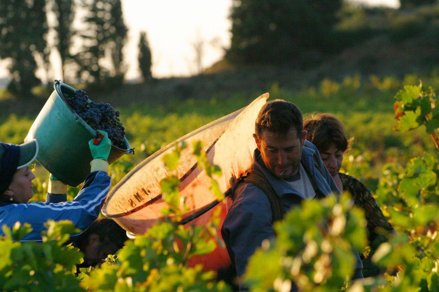 Vendanges dans les vignes, Aude ©Céline Deschamps-ADT de l'Aude