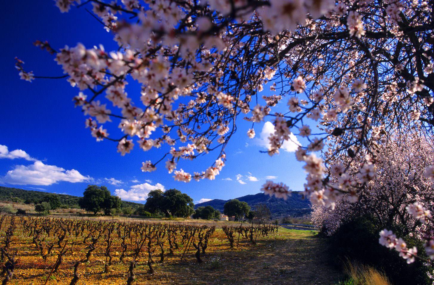 Monze, amandier en fleur, vigne