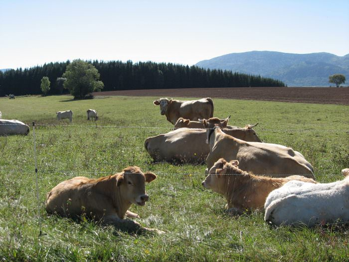 Vaches du Pays de Sault