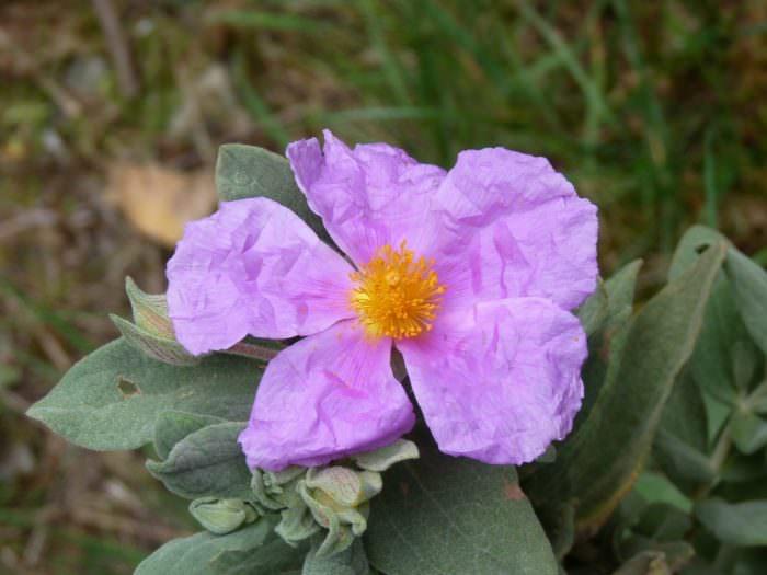 fleur de ciste rose