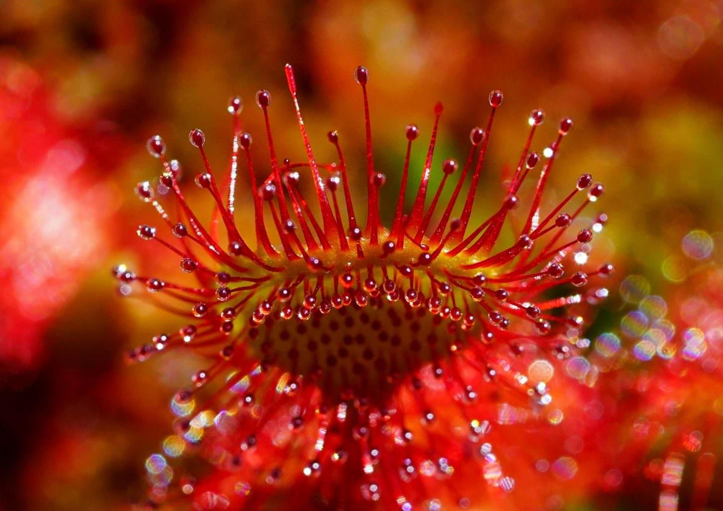 Flore de l'Aude, drasena ©Hans Braxmeier-Pixabay