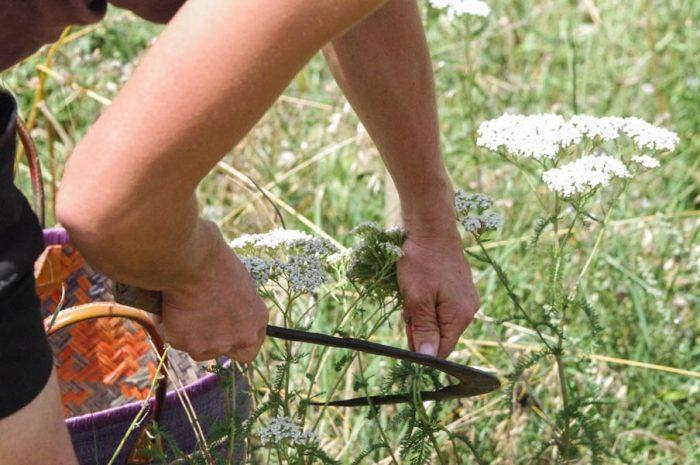 Plantes aromatiques en Lauragais ©Céline Deschamps, PETR