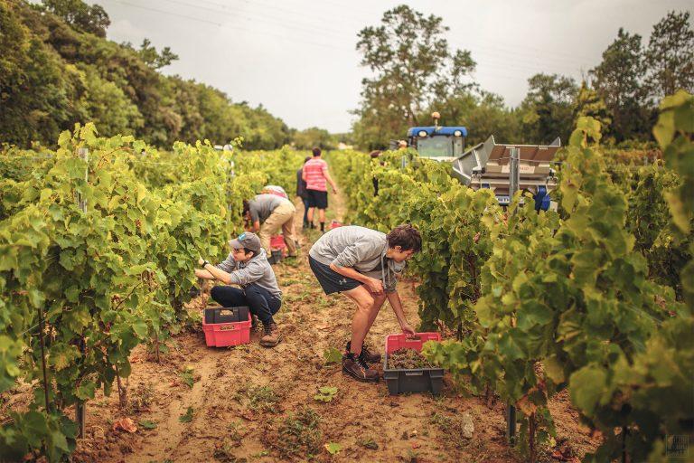Vendanges dans les vignes audoises ©Vincent Photographie