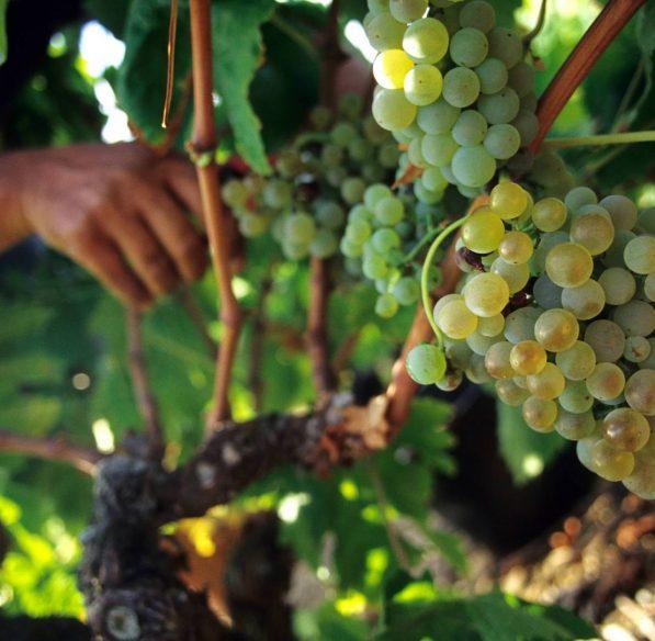 Vendanges dans les vignes ©Céline Deschamps-ADT de l'Aude