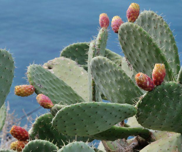 Cactus, opuntia, plante typique de l'Aude©G. Kouvelis, Istock