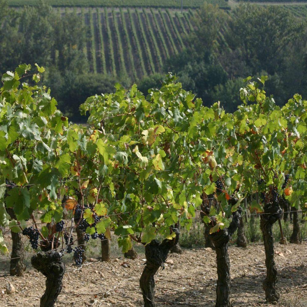 Dan les vignes à Alaigne ©ADT de l'Aude
