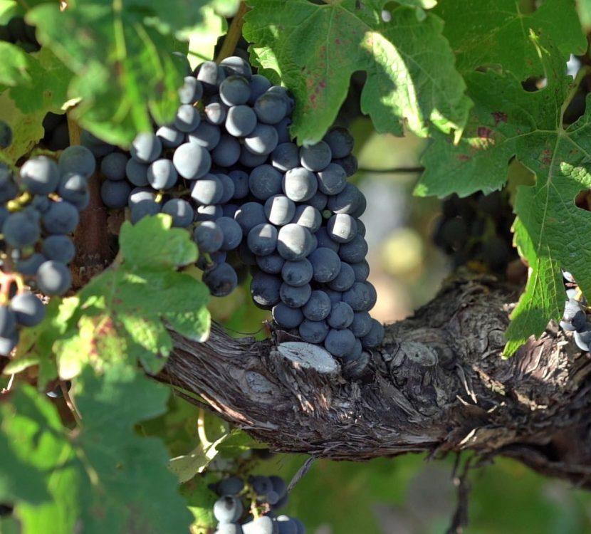 Vendanges dans les vignes de l'Aude ©Raphaël Kann-ADT de l'Aude