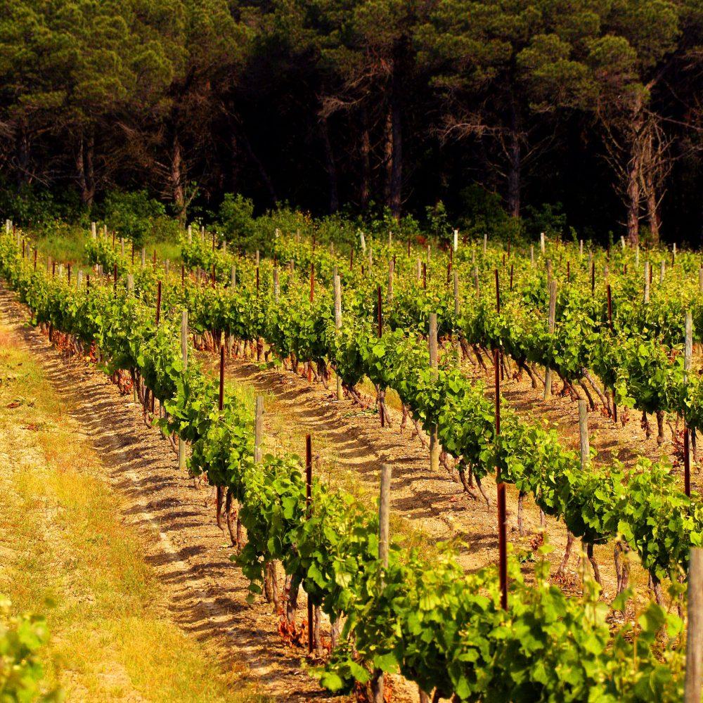 chateau de Pennautier Lorgeril, vignobles