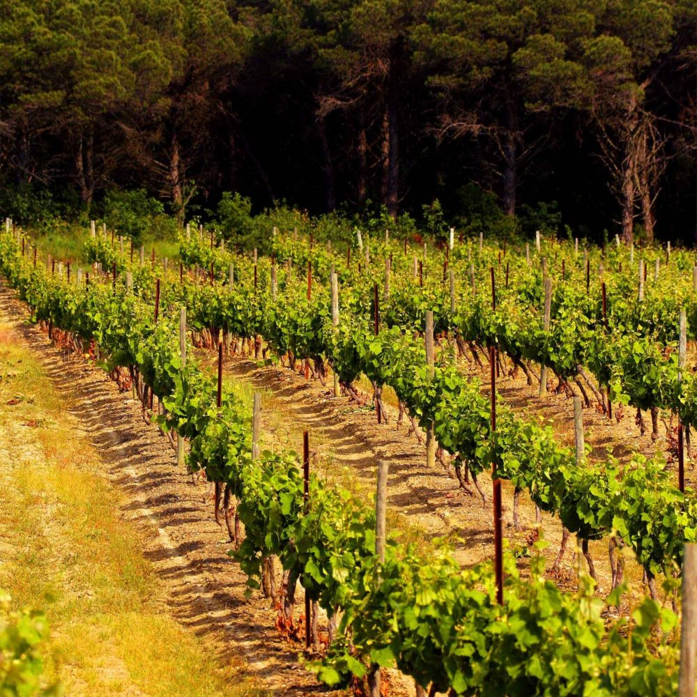 Dans les vignobles du Château de Pennautier ©Lorgeril