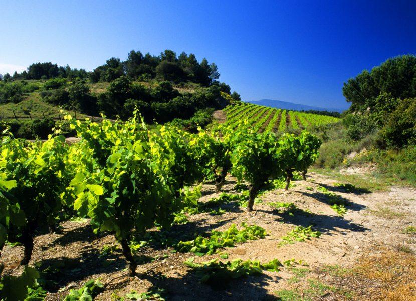 Félines minervois,vigne-C.Deschamps
