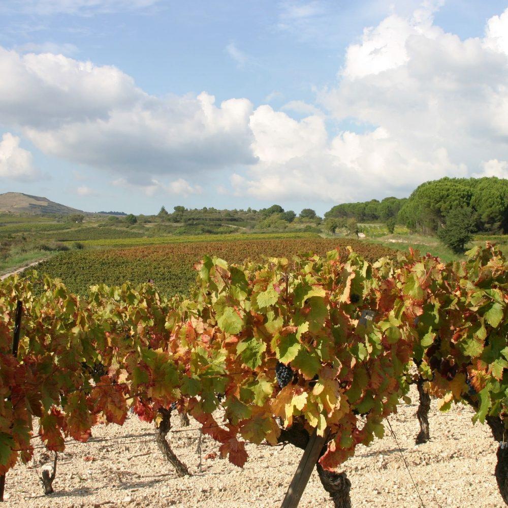 les vignes dans le Minervois