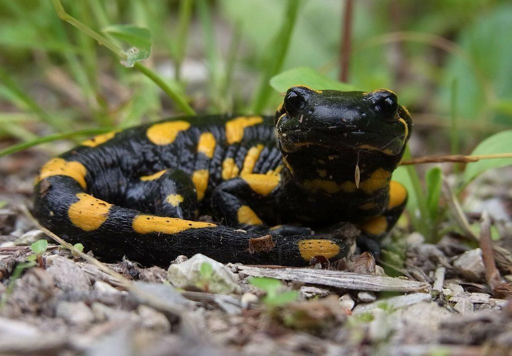 salamandre 02 Pixabay