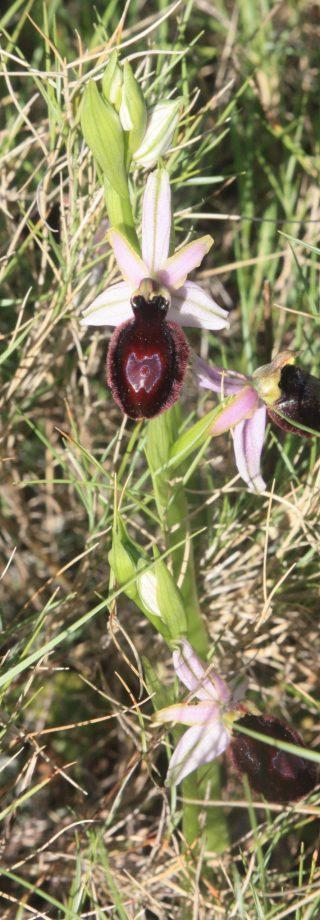 Orchidée Ophrys, Sentier des orchidées, Domaine Serres Mazard, Talairan ©V. Dumeunier - Conseil Départemental AUDE